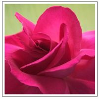 Red Rose (4751)