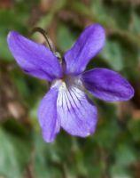 Violet  (9535)