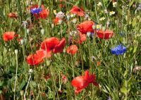 Red Poppies with Cornflowers - (9848)