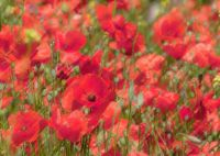 Pastel Red Poppies - (9846)