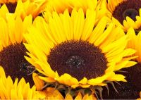 Sunflower - (10507)