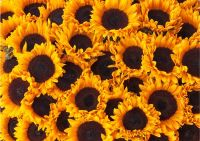 Sunflower heads (10508)