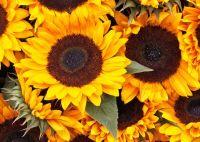 Sunflower flower heads - (10512)