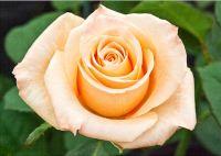 Peach Rose (10528)