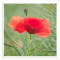 Poppy and seed head (201689)