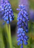 Muscari or Grape Hyacinth  (12634)