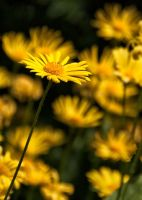 Yellow Flowers  (16463)