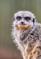 Meerkat - (3512)