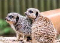 Meerkat - (3516)