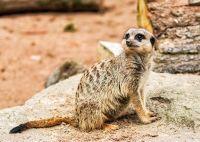 Meerkat - (3534)