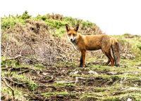 Fox - (5374)