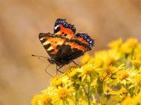Small Tortoiseshell Butterfly - (6324)