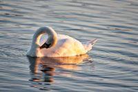 Mute Swan (Cygnus Olor)  (9732)
