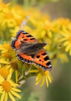 Small Tortoiseshell Butterfly (203387)