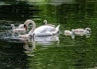 Swan with seven cygnets   Photographic Print
