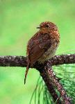Juvenile Robin  (017)
