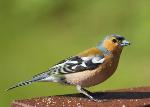 Male Chaffinch - Fringilla coelebs (3859)
