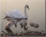 Mute Swan & Cygnets (3100)