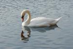 Mute Swan (Cygnus Olor) on Elterwater (5477)
