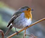 Robin -  Erithacus rubecula (2287)