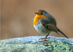 Robin -(Erithacus rubecula) (2206)