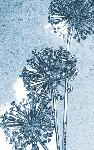Allium seed heads (4305)