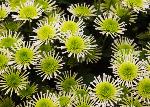 Chrysanthemums (5346)
