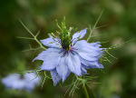Love in a mist (1268)