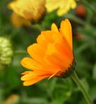 Marigold (1262)