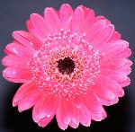 Pink gerbera  (0881a)