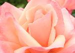 Pink Rose (3631)
