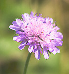 Scabious - Square Image (5245)