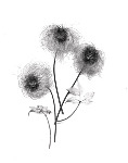 Clematis seed heads - Black and White (S001)