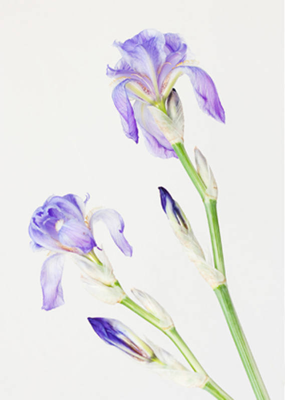 Iris flowers on stems 3729