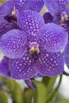 Phaelenopsis  (12974)