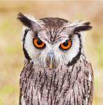 Owl (10935)