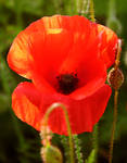 Red Poppy with buds - (953)