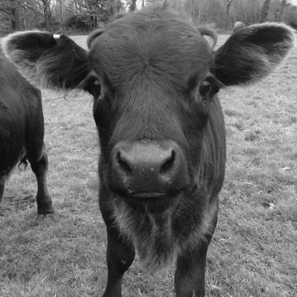 Bancyboblen Dexter calf