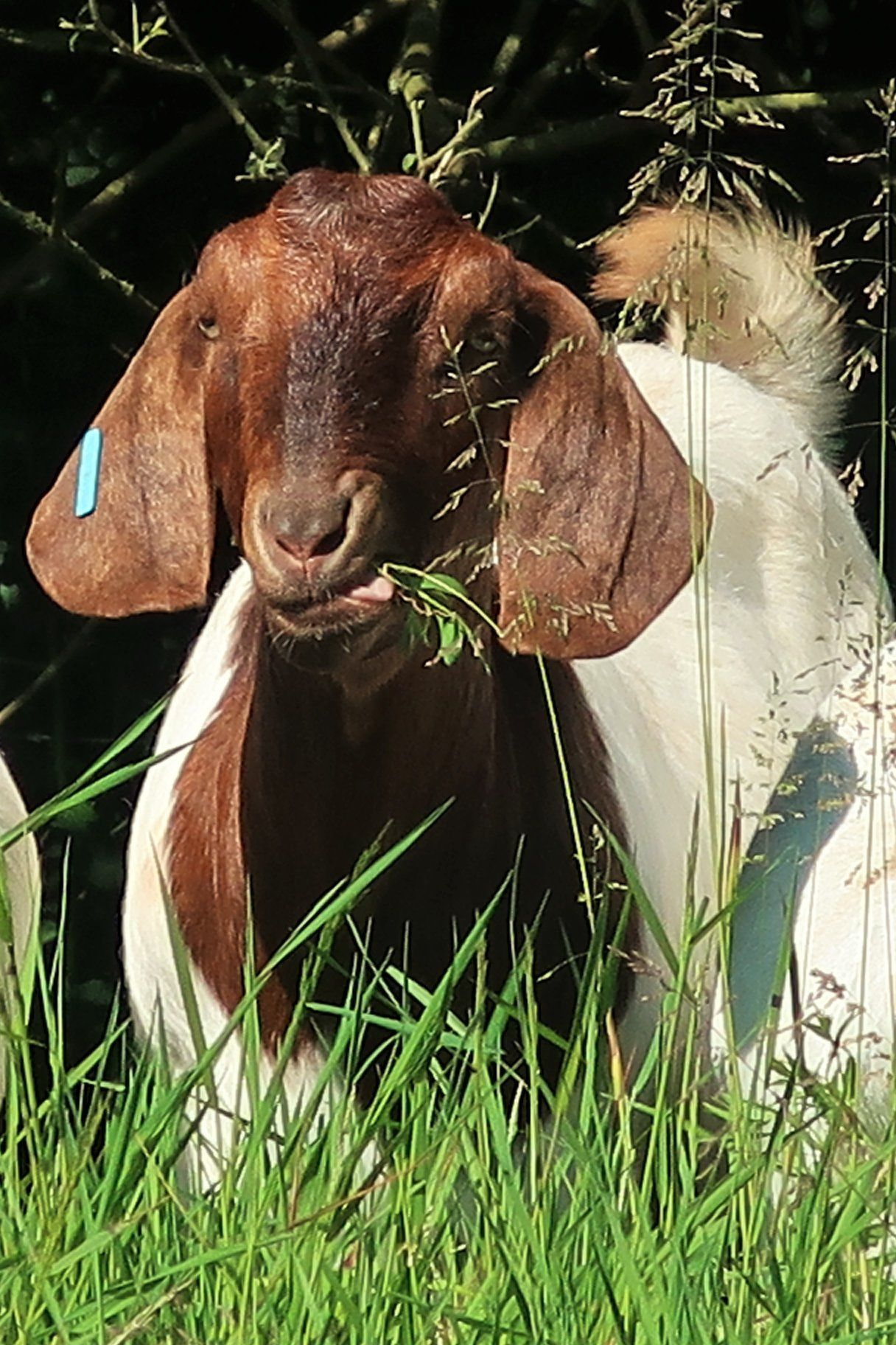 Boer goat eating grass