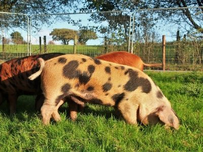 Pigs out in their enclosure enjoying the sunshine