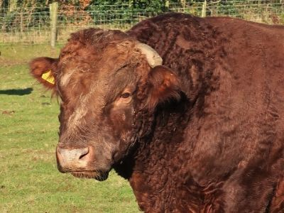 Simply Red, the non-short Dexter bull