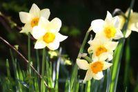 Easter-daffodils
