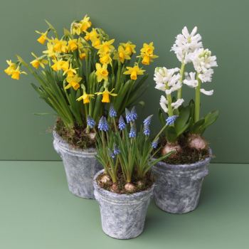 Trio of Spring Bulbs