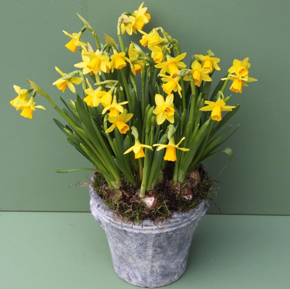 Miniature Daffodil Pot