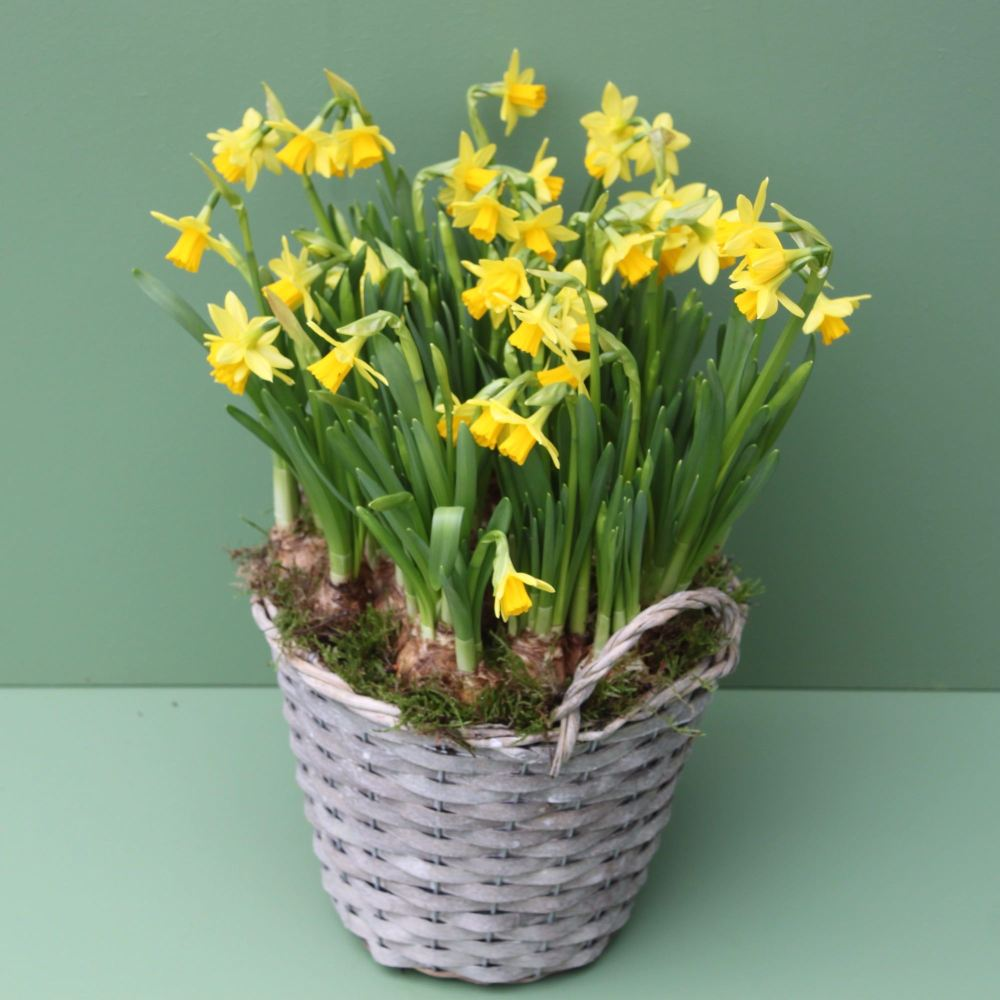 Flowercraft lindfields miniature daffodil basket from 30 izmirmasajfo Images