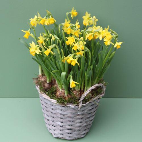 Miniature Daffodil Basket