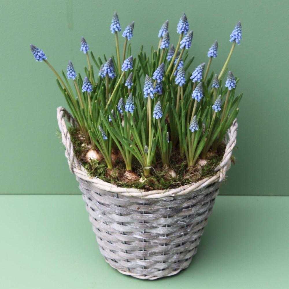 Blue Muscari Basket