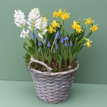 Basket of Spring Bulbs