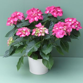 Magenta Pink Hydrangea Plant. Price from
