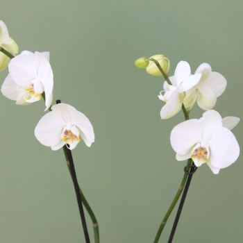 White Phalaenopsis Orchid. Price from